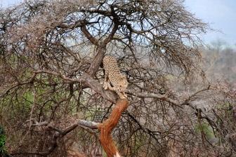 Scarlett, Cheetah