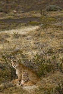 Puma Torres del Paine, Patagonia, Argentina