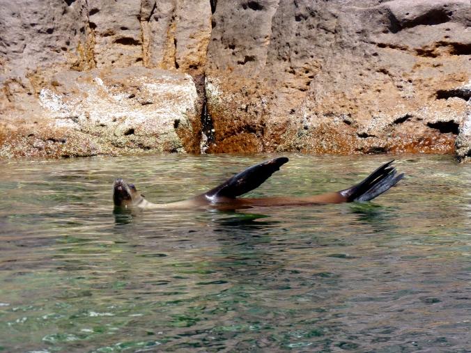swimming with otaries